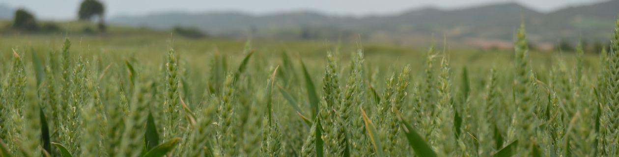 Arkeos, el trigo que bate records