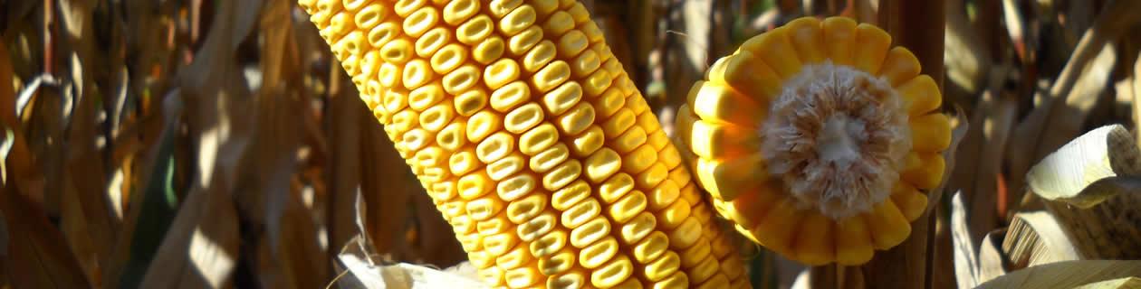 LG 34.90: la variedad de maíz más vendida en España