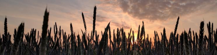 APUNTES TÉCNICOS CEREAL: Los Micronutrientes. Identificación de las Deficiencias Nutritivas en el Cereal