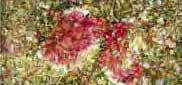 Monascus purpureus